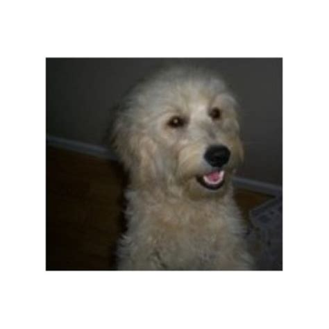 mini doodle nc mini goldendoodle puppies nc www proteckmachinery