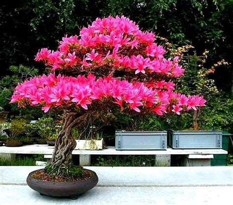 Bonsai Pink discover and save creative ideas