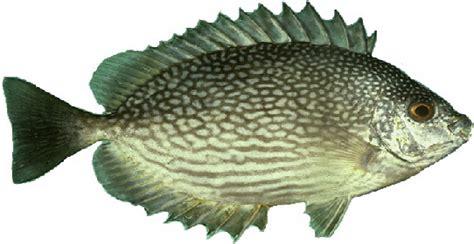Umpan Mancing Dilaut umpan jitu mancing ikan baronang lebam dan ikan kiper