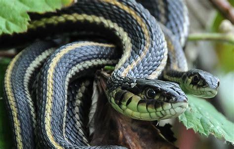 Garden Snake Island Garter Snakes Vancouver Island Flickr Photo