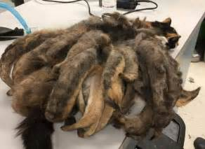 neglected cat covered in a kilogram of matted fur rescued