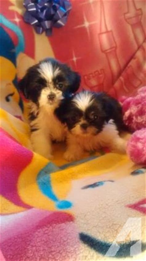 caring for 8 week shih tzu tiny teacup ckc reg imperial shih tzu puppies 8 weeks for sale in clinton