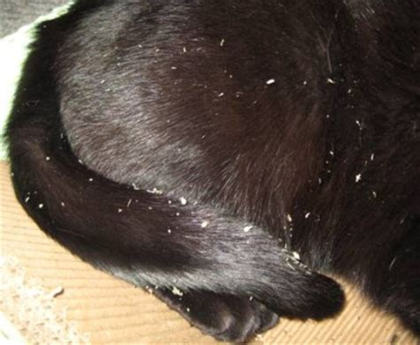 can dogs get dandruff treat dandruff on a cat cats