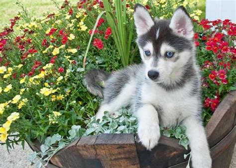 buy a pomeranian husky mix the pomsky the the facade