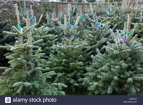 frost on conifer christmas trees awaiting sale in garden