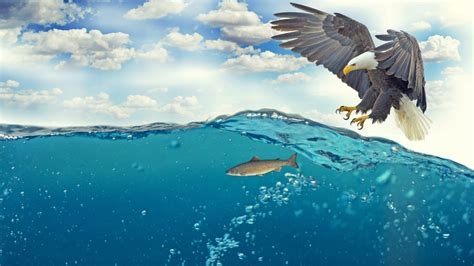 eagle fish underwater  wallpapers hd wallpapers id