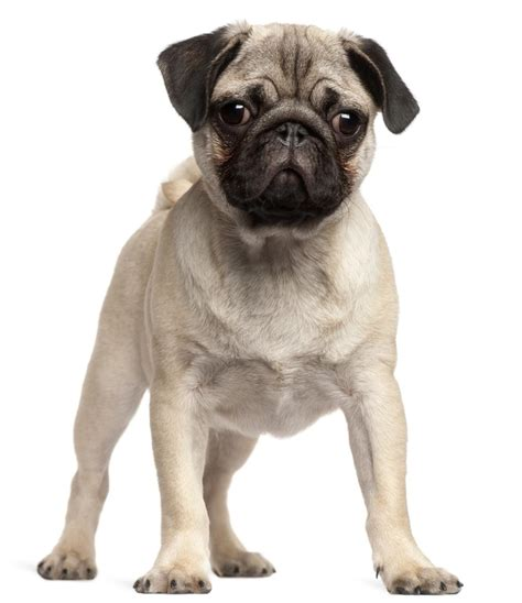 do pugs stay small best list of the most captivating breeds of dogs that stay small