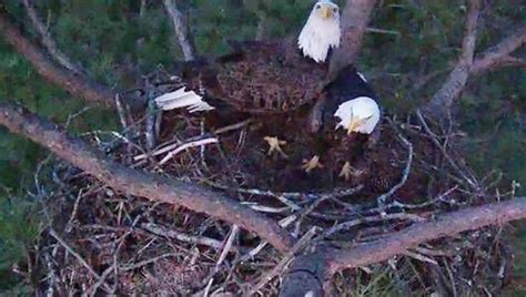 berry college eagle live launches bald eagle mnn