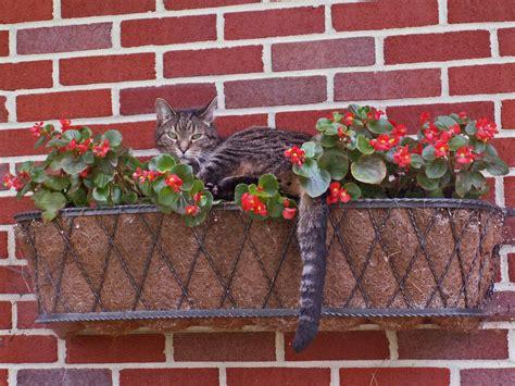 Diy Window Planter Box - cat in flower box tabby cat courtney in flower box diane gregg flickr