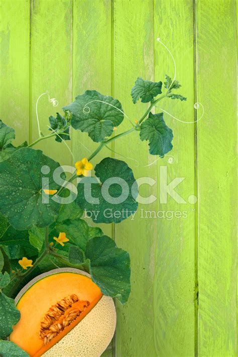 bryce vine night circus free download cantaloupe on vine stock photos freeimages
