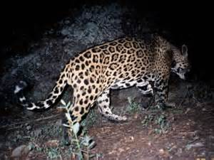 Jaguars In The United States No Border Wall The Border Wall Will Drive Jaguars To