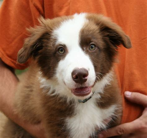 collie puppies for adoption border collie rescue of minnesota bcrmn