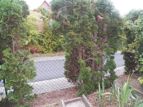 wann schneidet koniferen thuja hecke lebensbaum smaragd lebensbaum hecke thuja