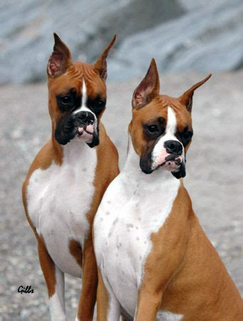 boxer dog haircut 289 best loving boxers images on pinterest boxer dogs