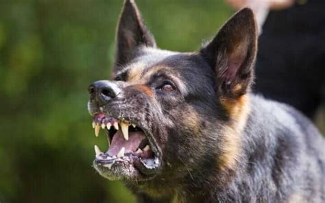 Dogs Of War Size M snarling what it s and how to deal with