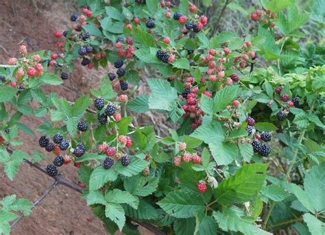 Raspberry Garden by Raspberry Plants