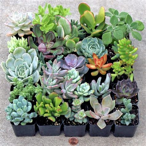 soft succulent tray 2in containers 25 varieties mountain crest gardens