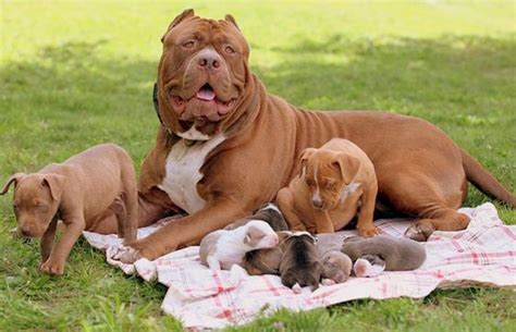 how can a how many puppies can a pitbull pets haunt
