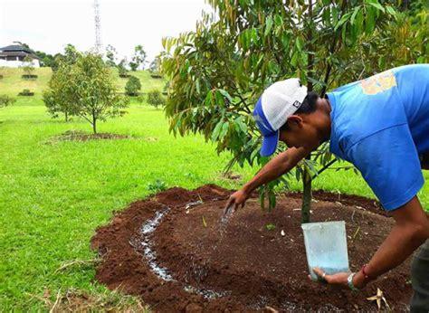 Pupuk Npk Mutiara Untuk Durian cara dan dosis pemupukan pohon durian yang baru ditanam