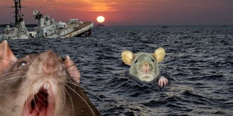 Rats From A Sinking Ship by Mueller Probe Two Rats Abandon Ship Daily Stormer