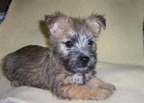 cairn terrier puppy cairn terrier not in the housenot in the house