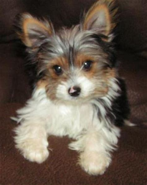 tri color yorkie pictures parti yorkies pups terriers yorkies for sale breeds picture