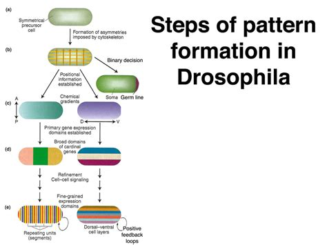 pattern formation in the drosophila wing the development of the veins lecture notes