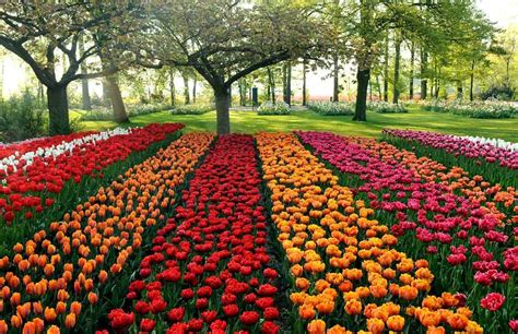 tulip fields field holland tulips netherlands tulip aknightintarnishedarmour
