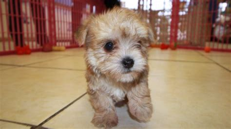 morkie puppies for sale in ga special gold morkie puppies for sale in at puppies for sale local breeders