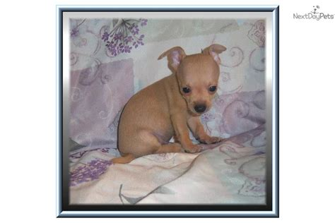 apple chihuahua puppies for sale near me chihuahua puppies chihuahua puppies chihuahua puppies chihuahua breeds picture