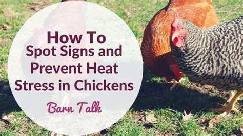 how do chickens need a heat l do chickens need a heat
