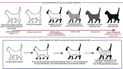 picture cat breeds genetics cat and cat