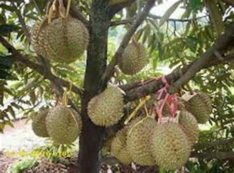 Jual Bibit Durian Bawor jual bibit durian bawor murah unggul dan berkwalitas asli