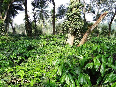 Free photo: Coffee Plantation, Coffea Robusta   Free Image on Pixabay   346878