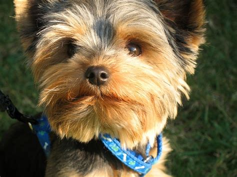 how to take care of a yorkie puppy how to take care of morkie puppies it s free at last