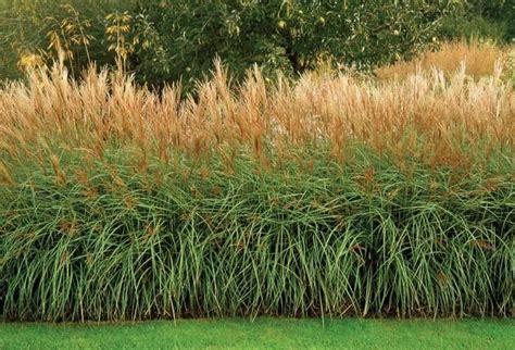 ornamental grass hedge buiten pinterest