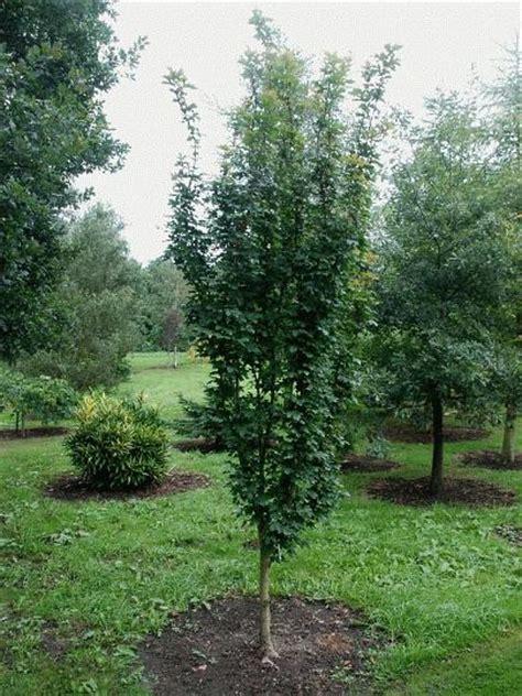 bluebell nursery bluebell nursery trees shrubs acer acer cestre william caldwell