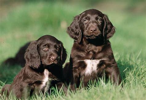 german longhaired pointer puppies 17 beste afbeeldingen my show op 235 r pups catahoula