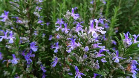 fiori rosmarino rosmarino come coltivare aromatiche come coltivare il