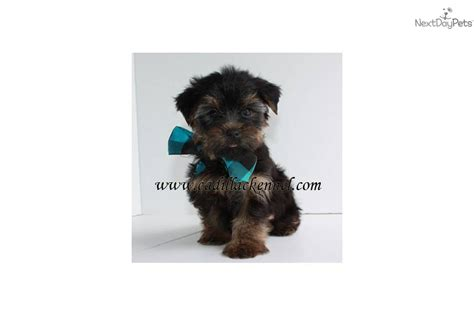 free teacup yorkies puppies terrier yorkie puppy for sale near springfield missouri a567c8ec d881