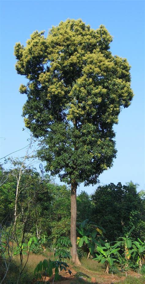 tree types trees planet mangifera indica mango tree