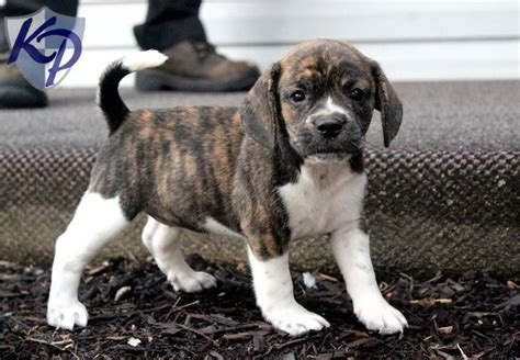 beabull puppies for sale 1000 images about beabull our future puppy on