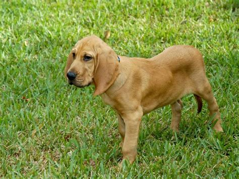 free bloodhound puppies bloodhound pictures images photos breeds picture