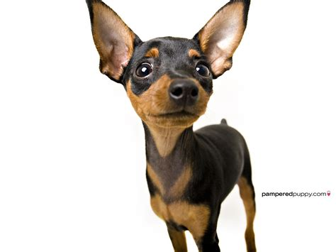 chihuahua pictures chihuahuas images chihuahua hd wallpaper and background