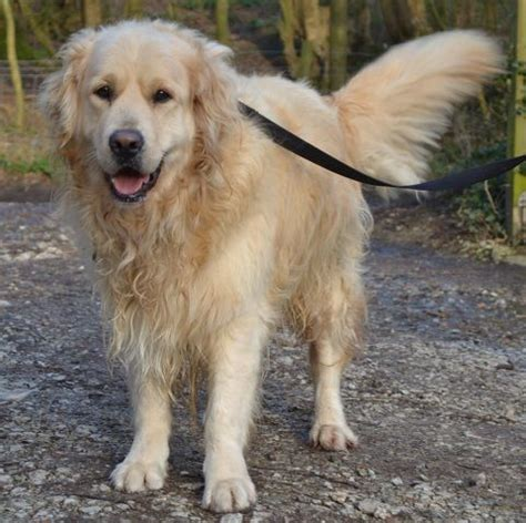 uk golden retriever rescue golden retriever at allsorts rescue henfield west sussex pets4homes