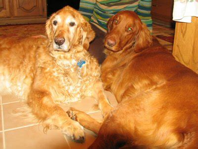 brown golden retriever brown skinned golden retriever history