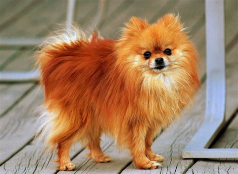 pomeranian dogs file pomeranian orange coco jpg