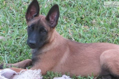 belgian malinois puppy for sale belgian malinois puppy for sale california belgian malinois puppies breeds picture