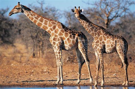 imagenes animales de africa banco de im 225 genes para ver disfrutar y compartir