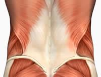 The lower back is made up of a group of muscles that connect to many